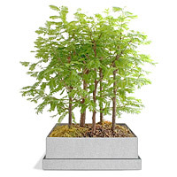 dawn redwood bonsai forest gift for grandfather