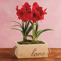 ValentineS Day Red Lion Amaryllis Double -..