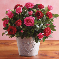 Spring Mini Rose Duo -  Harry And David 6-Inch..
